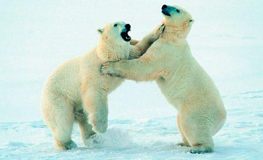 Kutup Ayısı Kutup Ayısının özellikleri Ayigentr